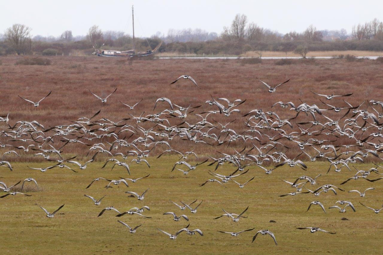 Vogelexcursie Een vlucht Brandganzen (foto door Roel)