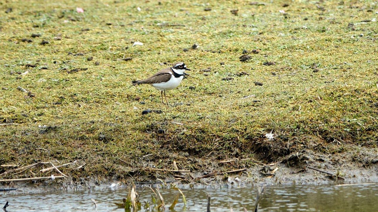 Vogels kijken Lauwersmeer Kleine Plevier (foto door Daan)