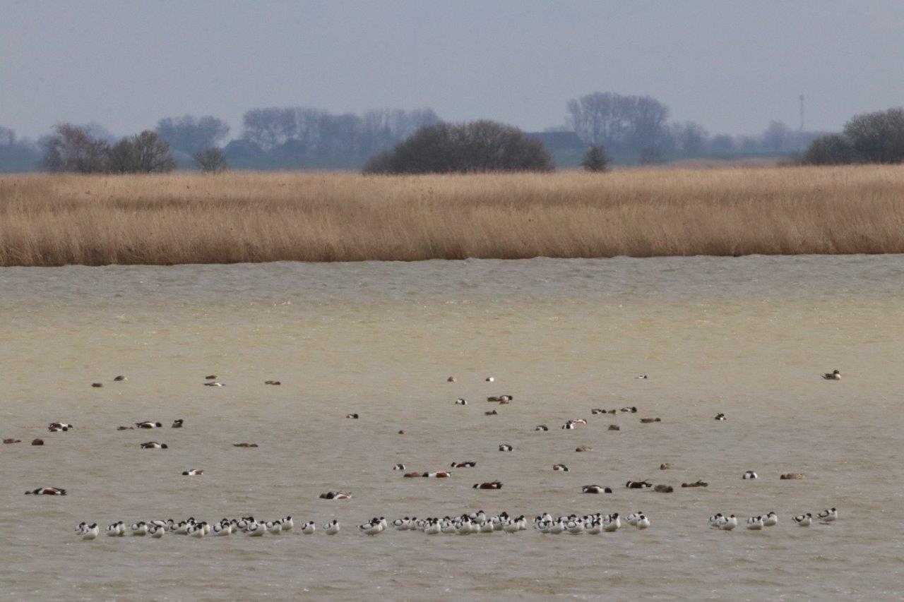 Vogelexcursie Lauwersmeer Kluten en Slobeenden (foto door Roel)