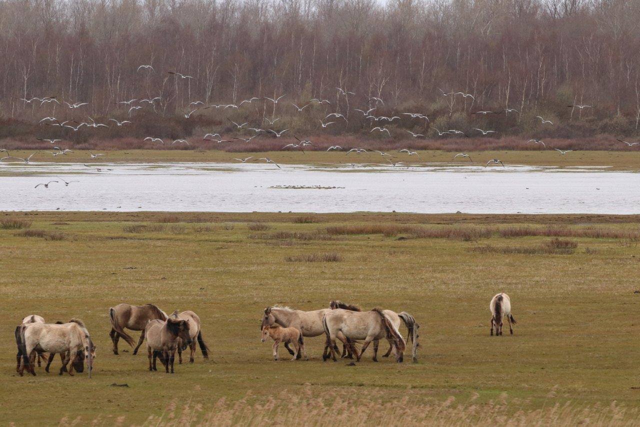 Konikpaarden (foto door Roel)