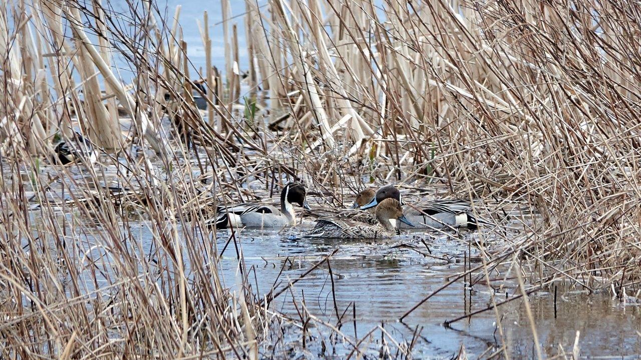 Vogelexcursie Lauwersmeer Pijlstaart (foto door Daan)