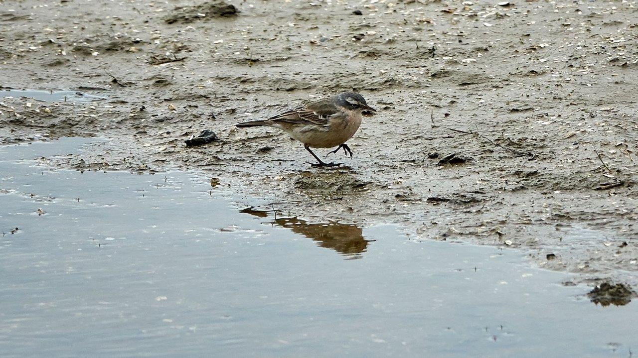 Vogelexcursie Lauwersmeer Waterpieper (foto door Daan)