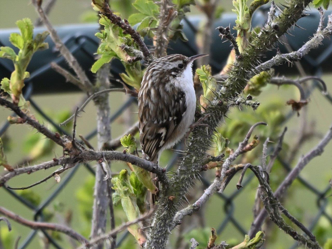 Vogelexcursie Boomkruiper (foto door Jacques)