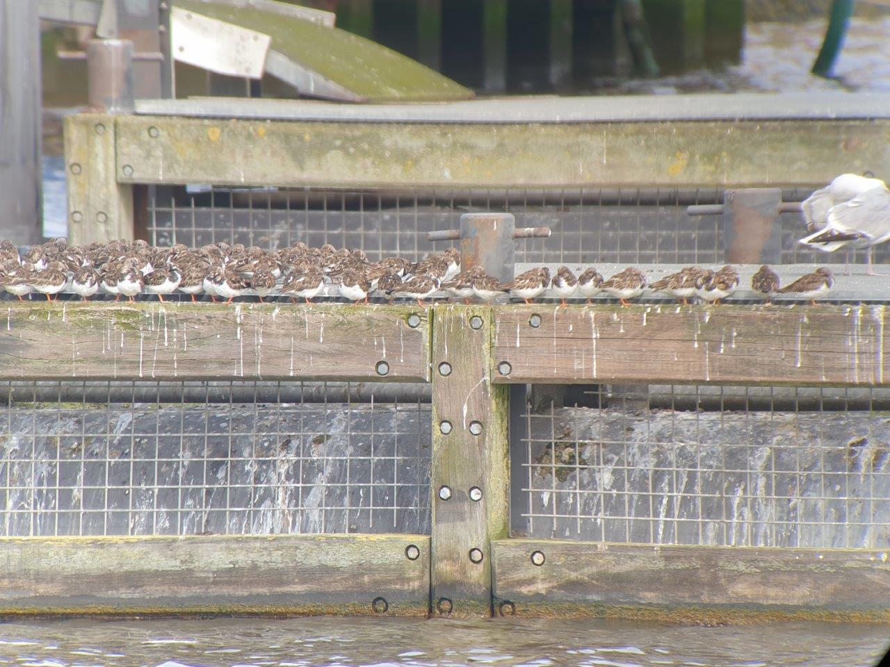 Vogels kijken Lauwersmeer Steenlopers rusten uit