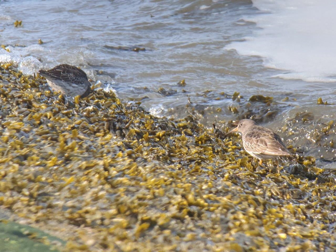 Vogelexcursie Paarse Strandlopers in de haven