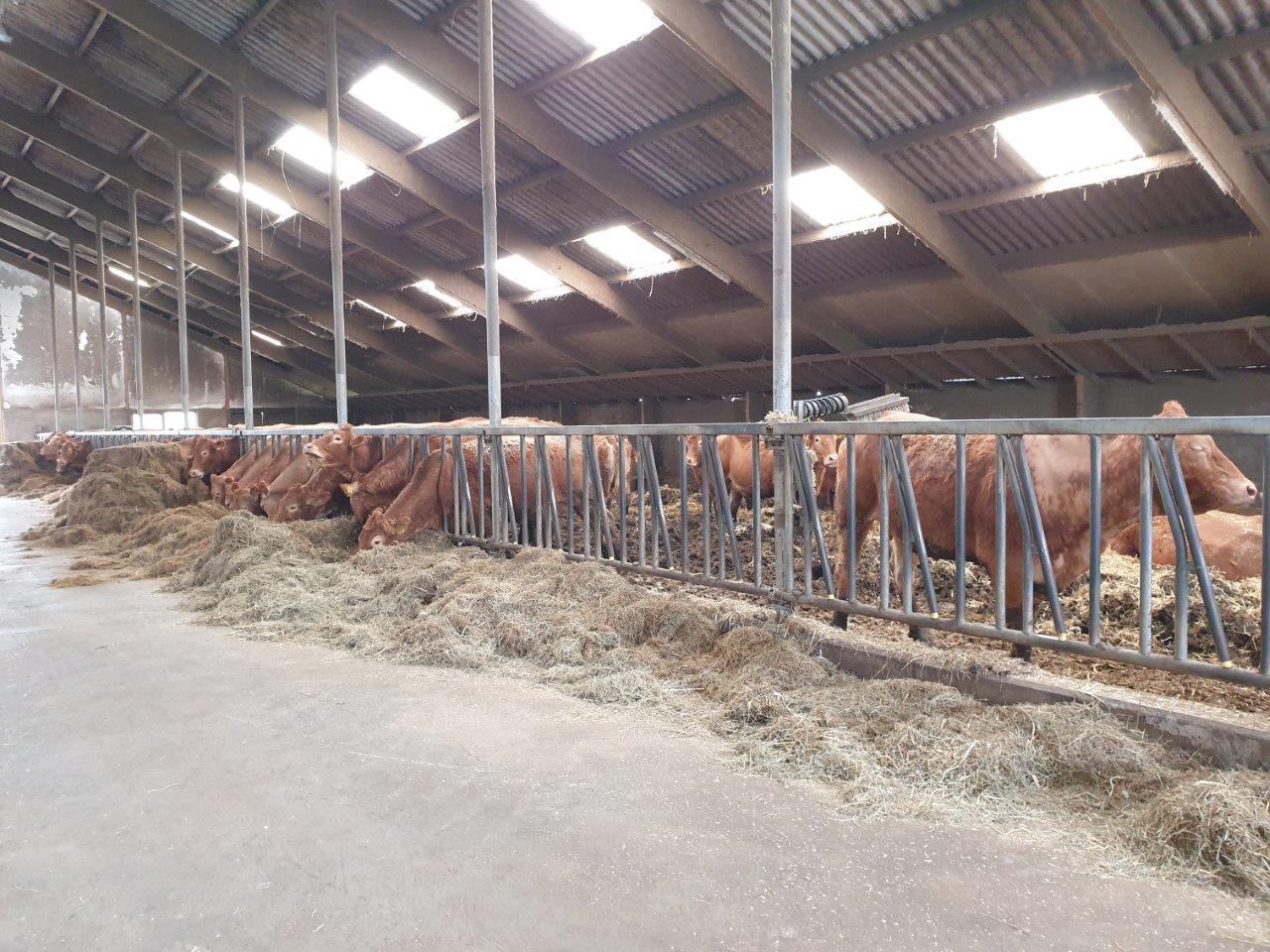 Koeienstal met Huismussen