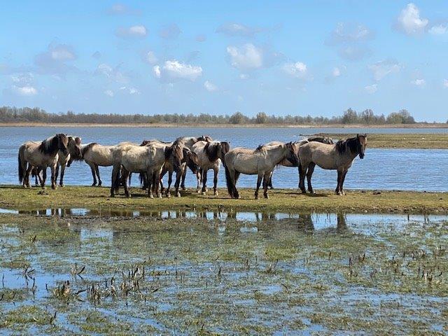Konikpaarden bij Ezumakeeg (foto door Suzette)