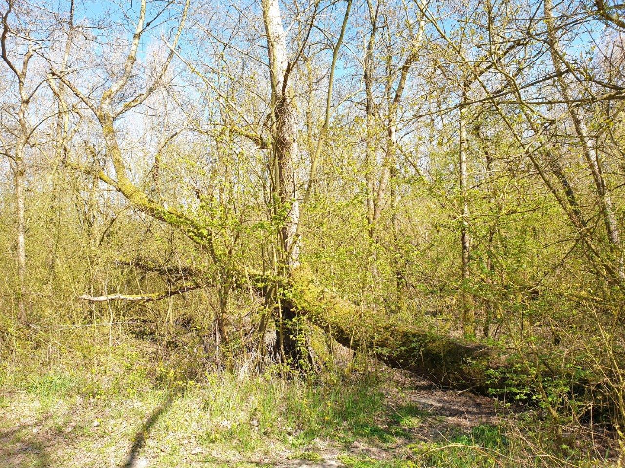 Omgevallen boom groeit verder