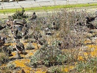 Steenlopers tussen de plantjes (foto door Suzette)