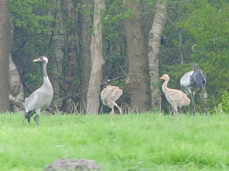 familie Kraanvogel