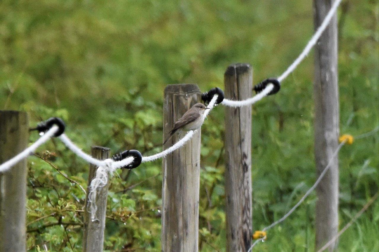 Grauwe Vliegenvanger (foto door deelnemer)