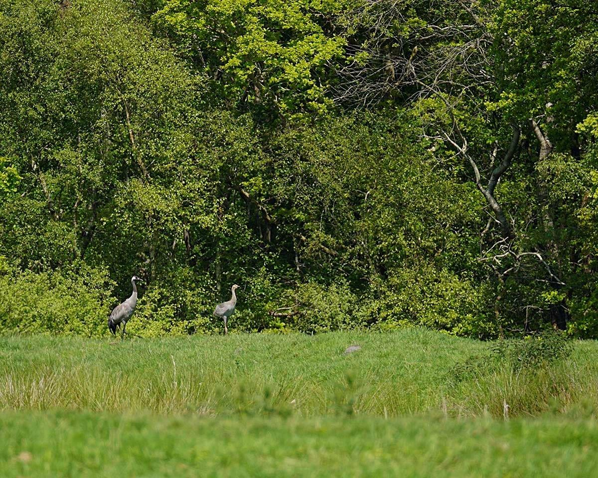 Kraanvogelouders met jong