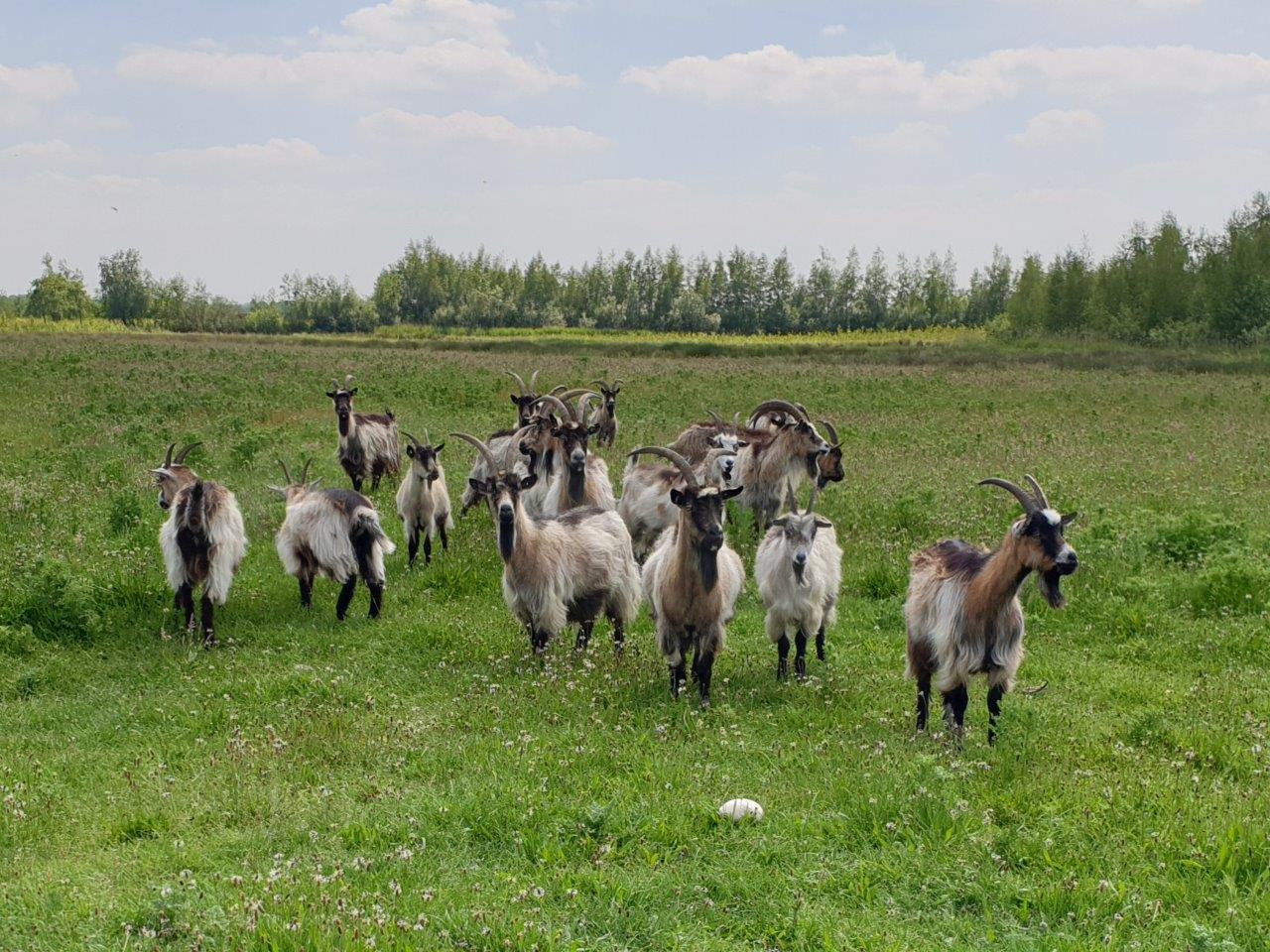 Nederlandse Landgeiten zijn nieuwsgierig