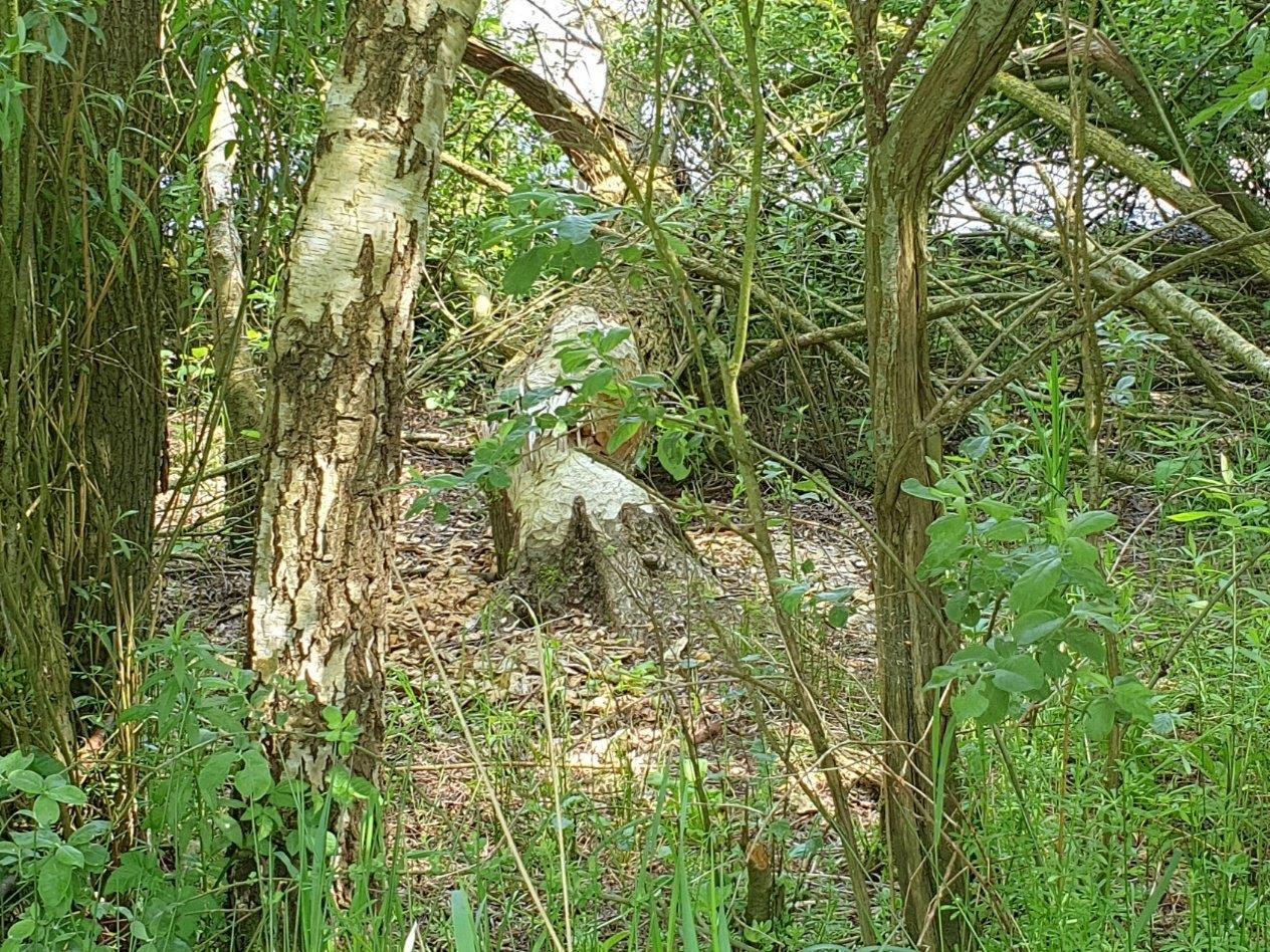 Omgeknaagde boom door Bever