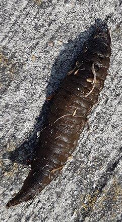 larve van een Grote Spinnende Waterkever