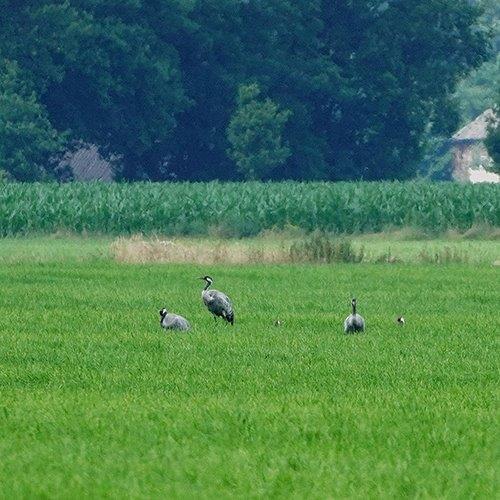 enkele van de groep Kraanvogels