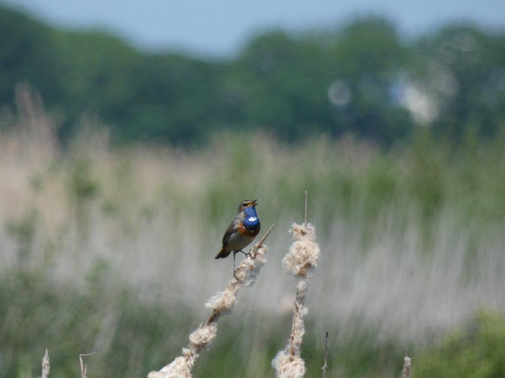 Blauwborst (foto door Ank)