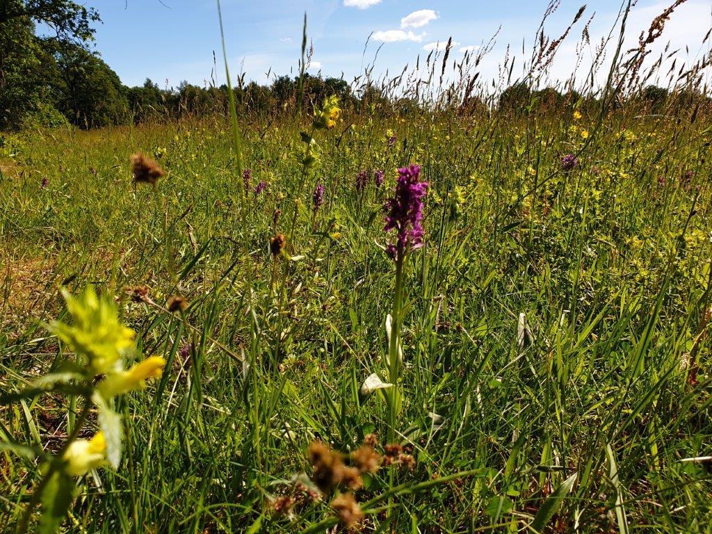Orchidee in het gras