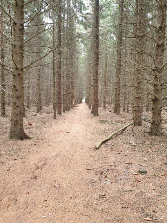 Door de naaldbomen