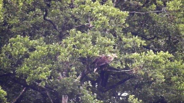 Zeearend in de boom (foto door Rein)