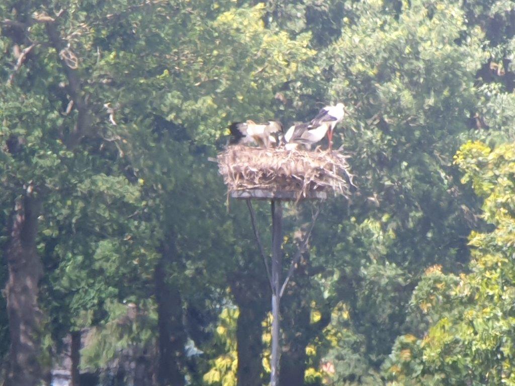 Ooievaars op het nest
