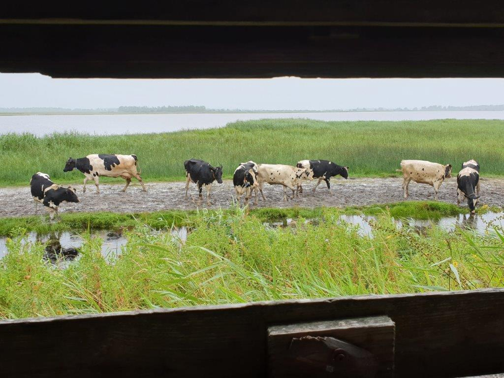 Koeien voor de hut