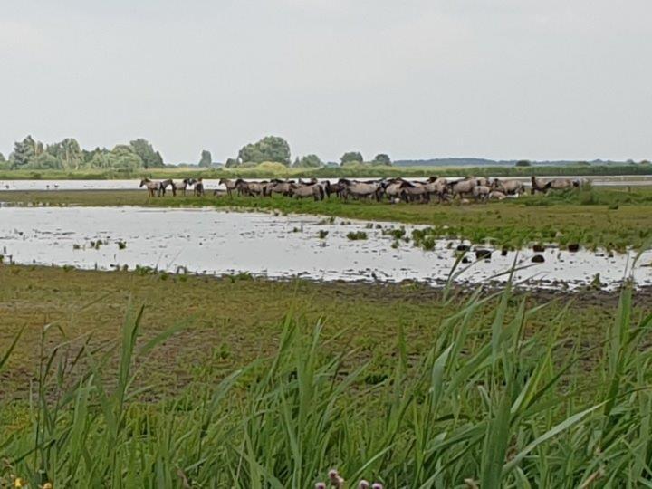 Konikpaarden bij de Ezumakeeg