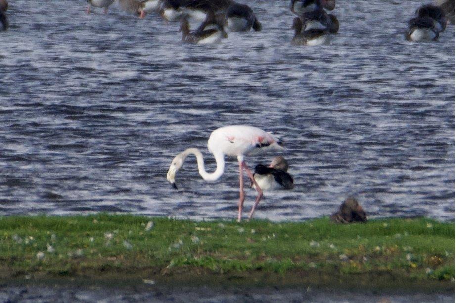 Flamingo (foto door Michiel)