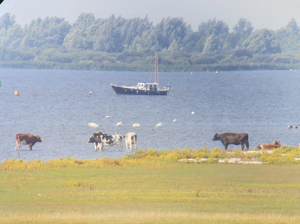 Koeien in het water