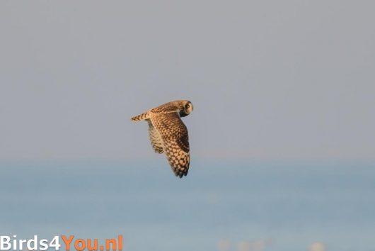 Velduil in vlucht